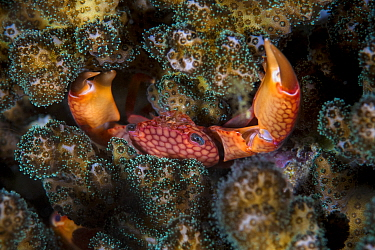 Coral crab (Trapezia rufopunctata) hiding in the hard coral, Xiaoliuqiu Island, Taiwan