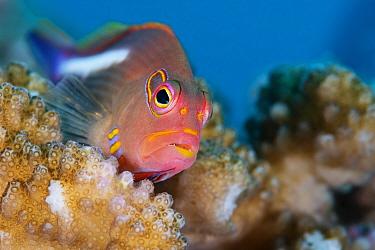 Arc-eye hawkfish (Paracirrhites arcatus) often found perched on corals like Acropora, Stylophora, and Pocillopora, Xiaoliuqiu Island, Taiwan