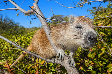 Desmarest's hutia (Capromys pilorides) climbing in tree. Gardens of the Queen National Park, Cuba.