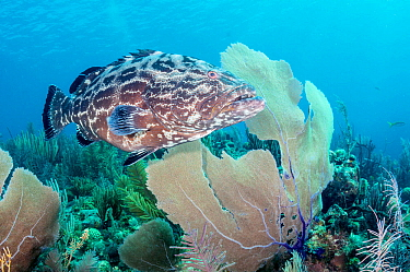Black grouper (Mycteroperca bonaci) swimming in coral reef. Caribbean Sea off Gardens of the Queen National Park, Cuba.