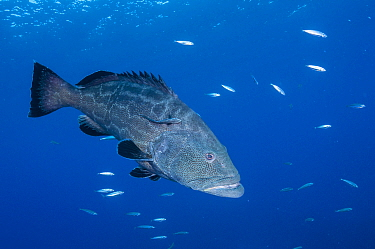 Black grouper (Mycteroperca bonaci) with Remora fish (Remora sp). Caribbean Sea off Gardens of the Queen National Park, Cuba.