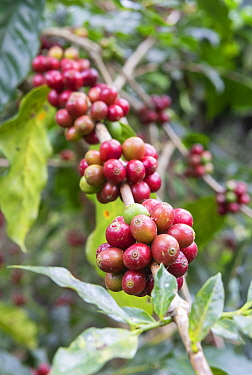 Coffee plant (Coffea arabica) with ripe coffee berries, ready for reaping. Coorg, Western Ghats, India