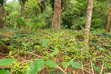 Coffee plants (Coffea arabica) with ripe coffee berries, ready for harvest. Coorg, Western Ghats, India