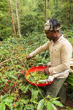 Man harvesting Coffee berries (Coffea arabica) Coorg, Western Ghats, India