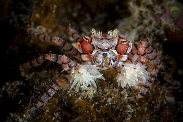 Boxer crab (Lybia tessellata) carrying a sea anemone around in each of its claws, Xiaoliuqiu Island, Taiwan