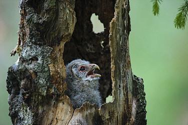 Ural owl chick (Strix uralensis), begging for food at nest entrance. Alam-Pedja Nature Reserve, southern Estonia