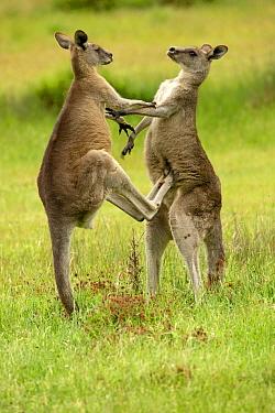Eastern grey kangaroo (Macropus giganteus), two males fighting. Grampians National Park, Victoria, Australia.
