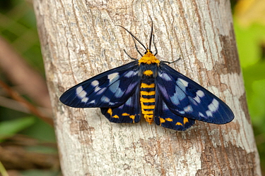 Four o'clock moth (Dysphania numana) male on tree trunk. Cairns, Queensland, Australia.