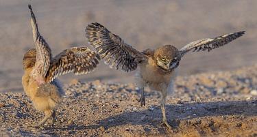 Burrowing owl (Athene cunicularia), two chicks testing wings, aged a few weeks. Marana, Arizona, USA. May.