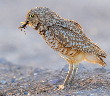 Burrowing owl (Athene cunicularia) male, insect in beak to hand over to female to feed to chicks. In evening light, Marana, Arizona, USA.