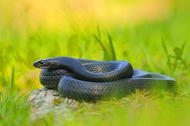 Western whip snake, (Hierophis viridiflavus), dark morph, basking in grass, Italy, April . Non-ex.