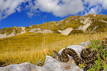 Meadow viper, (Vipera ursinii), basking in alpine meadow, Apennines, Italy, September . Non-ex.