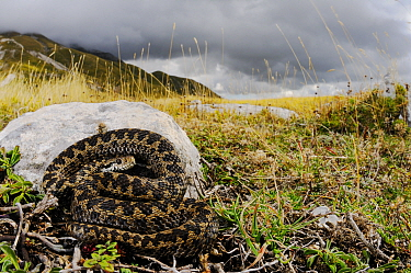 Meadow viper, (Vipera ursinii), basking before storm comes, Apennines, Italy, September . Non-ex.