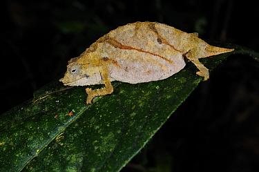Boulenger's pygmy chameleon, (Rhampholeon boulengeri), showing paler colours at night, Nyungwe Forest NP, Rwanda, November . Non-ex.
