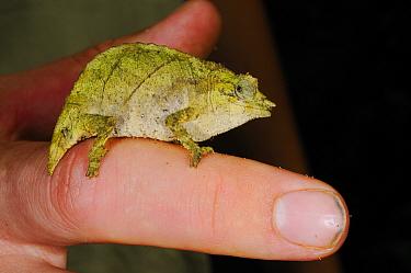 Boulenger's pygmy chameleon, (Rhampholeon boulengeri), adult on a finger, Nyungwe Forest NP, Rwanda, October . Non-ex.