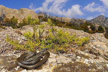 Western whip snake, 1+Hierophis viridflavus+2, basking on granite rocks, Montecristo Island, Tuscany, Italy, June . Non-ex.