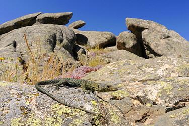 Bedriaga's rock lizard, (Archaeolacerta bedriagae), Sardinia, Italy, June . Non-ex.