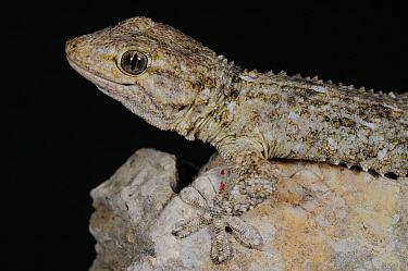 Moorish gecko, (Tarentola mauritanica), Italy, June . Non-ex.