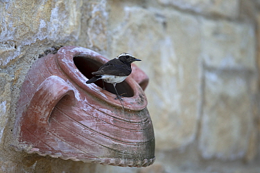 Cyprus wheatear (Oenanthe cypriaca) perched on ceramic pot in wall. Cyprus. April.