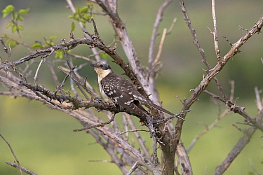 Great spotted cuckoo (Clamator glandarius) perched in thorny bush. Cyprus. April.