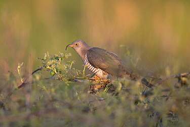 Common cuckoo (Cuculus canorus) with Caterpillar in beak, perched on scrub in evening light. Norfolk, England, UK. May.