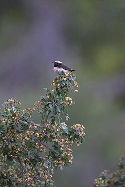 Cyprus wheatear (Oenanthe cypriaca) perched on bush. Cyprus. April.