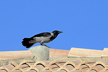 Hooded crow (Corvus cornix) on rooftop. Cyprus. April.