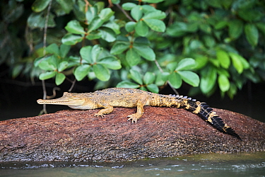 False gharial (Tomistoma schlegelii) resting on rock in Mpassa river. Bateke Plateau National Park, Gabon.