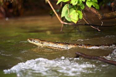 African rock python (Python sebae) swimming in Mpassa river, Bateke Plateau National Park, Gabon.