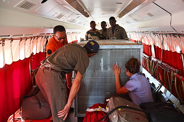 Beauval zoo staff checking and comforting Western lowland gorilla (Gorilla gorilla gorilla) female in transit. To be reintroduced through Gabon Gorilla Protection Project to Bateke Plateau National Pa...