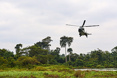 Helicopter transporting Western lowland gorilla (Gorilla gorilla gorilla) female to habituation island prior to reintroduction by Gorilla Protection Project. Gorilla from Beauval zoo, France. Bateke P...