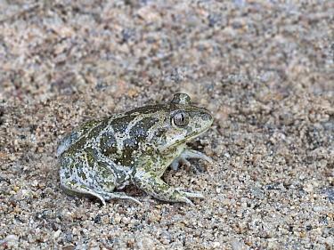 Eastern spadefoot toad (Pelobates syriacus) adult digging itself underground in sandy soil, backwards. Kresna Area, Bulgaria