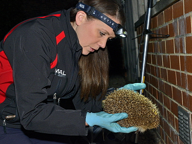 Lucy Bearman-Brown inspecting a Hedgehog (Erinaceus europaeus) with a transmitter attached she has found by radiotracking after dark, Hartpury University, Gloucestershire, UK, June 2019. Model release...