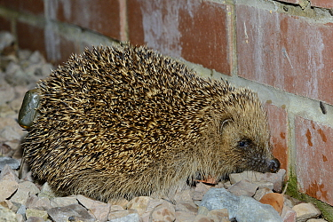 Hedgehog (Erinaceus europaeus) with a transmitter attached found by radiotracking after dark, Hartpury University, Gloucestershire, UK, June 2019.