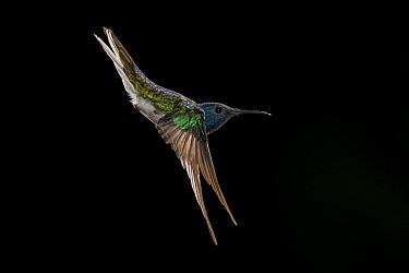 White-necked jacobin (Florisuga mellivora) hummingbird, male, in flight. Costa Rica.