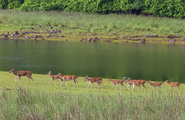 Chital deer (Axis axis) herd, Tadoba National Park, India