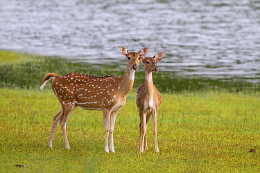Chital deer (Axis axis) mother and young, Tadoba National Park, India