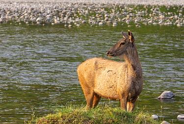 Sambar (Cervus unicolor) cautiously watching possible threat while crossing Ramganga river, Jim Corbett National Park, India.