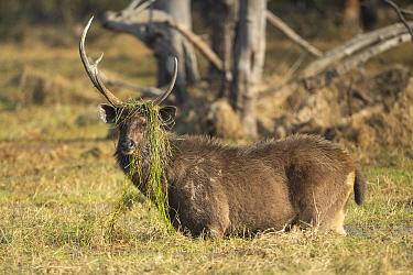 Sambar (Cervus unicolor) stag feeding on water weeds, Ranthambore National Park, India