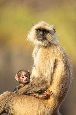 Hanuman Langur (Semnopithecus entellus) infant with his mother, Ranthambore National Park, India