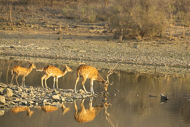 Spotted Deer(Axis axis) at lake shore, Ranthambore National park, India