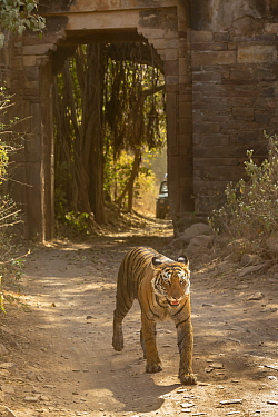 Bengal Tiger (Panthera tigris), walking through ancient arc of fort, Ranthambore National Park, India