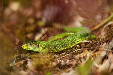 European green lizard (Lacerta viridis). Yonne, Bourgogne-Franche-Comte, France. March.