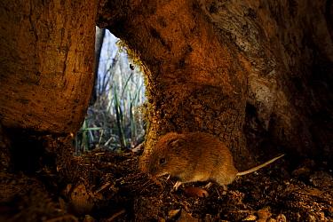 Bank vole (Clethrionomys glareolus) inside base of tree trunk. Yonne, Bourgogne-Franche-Comte, France. March.
