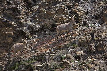 Blue sheep (Pseudois nayaur) Mt Shishapangma, Mt Qomolangma National Park, Qinghai Tibet Plateau, China.