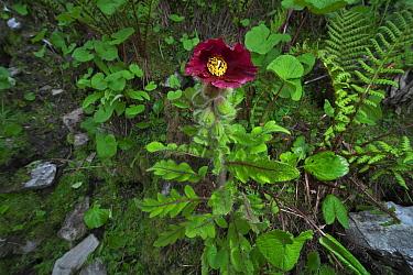 Mecanopsis poppy (Meconopsis pinnatifolia) Mt Qomolangma National Park, Qinghai Tibet Plateau, China.