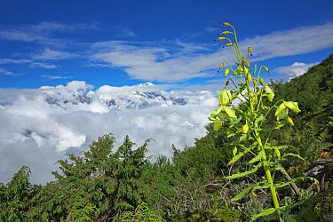 Mecanopsis poppy (Meconopsis paniculata) in mountain habitat, Mt Qomolangma National Park, Qinghai Tibet Plateau, China.