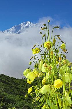 Mecanopsis poppy (Meconopsis paniculata and Meconopsis autumnalis) in mountain habitat, Mt Qomolangma National Park, Qinghai Tibet Plateau, China.