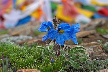 Blue poppy (Meconopsis horridula) Mt Everest, Mt Qomolangma National Park, Qinghai Tibet Plateau, China.