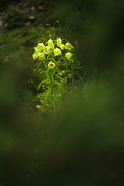 Mecanopsis poppy (Meconopsis paniculata) Mt Qomolangma National Park, Qinghai Tibet Plateau, China.